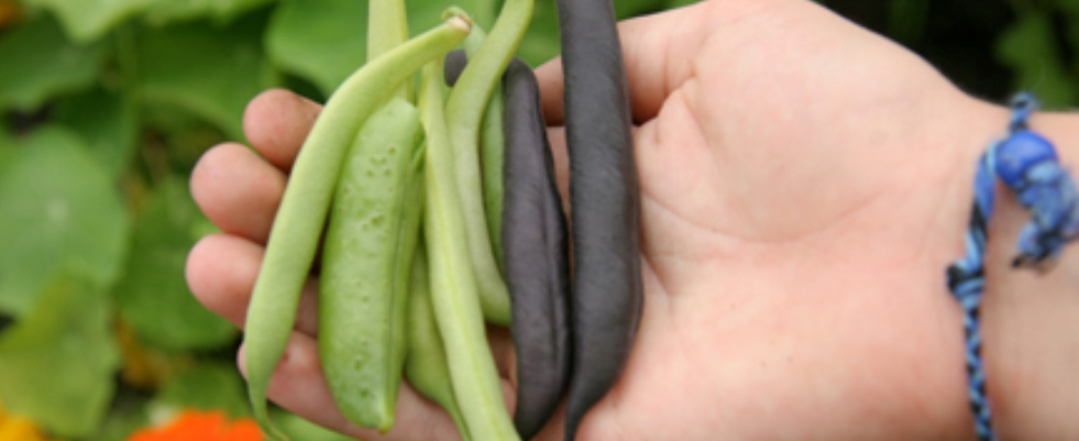 PageLines- SustainableCAPE_CCG_SummerBeans.jpg