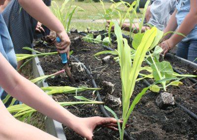 historical-harvest-garden-corn