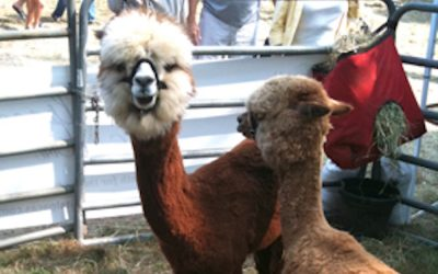 Alpacas are AdorableSTYLE CARROT
